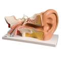 Model Ear 3 Times Life-Size 4Part