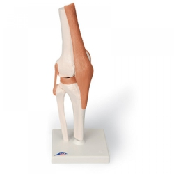 Model Muscled Knee Joint