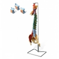 Model Vertebral Column With Stand : Muscle
